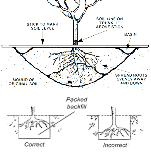 Fruit tree planting guide with free diagram - Fir tree planting instructions a vigorous garden ...