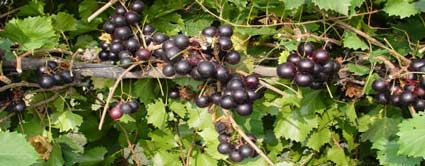 jumbo muscadine grape vine