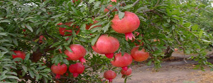 plantation sweet pomegranate tree