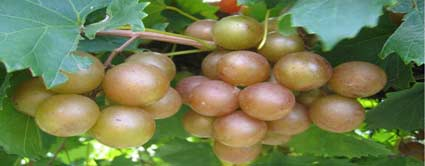 summit scuppernong grape vine