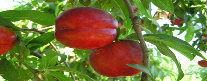 sun red nectarine tree