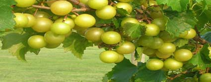 tara scuppernong grape vine