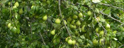 baldwin pear tree
