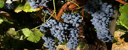 blue eastern concord seedless grape vine