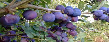 blue damson plum tree