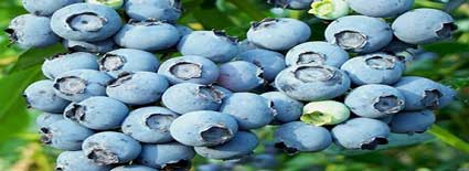 powederblue blueberry plants