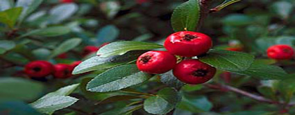 red star mayhaw tree