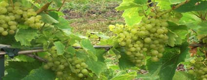 romulus seedless grape vine