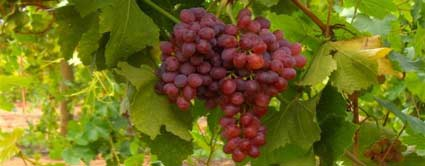suffolk red seedless grape vine